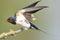 Stock Image : Barn swallow (Hirundo rustica)