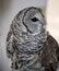 Stock Image : Barred Owl