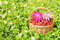 Stock Image : Basket with raspberry and flowers on green grass