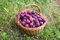 Stock Image : Basket of red plum on green grass