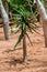 Stock Image : Bastard Quiver Tree - Aloe Pillansii