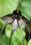 Stock Image : Bat flower black variety
