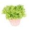 Stock Image : Batavia lettuce