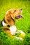 Stock Image : Beagle dog