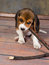 Stock Image : Beagle puppy playing