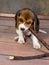 Stock Image : Beagle puppy playing
