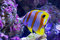 Stock Image : Beaked Coralfish swimming at Great Barrier Reef