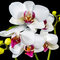 Stock Image : Beautiful branches white and red orchid flower (phalaenopsis) wi