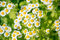 Stock Image : Beautiful chamomiles