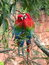Stock Image : Beautiful couple of wild red macaws, seen at Buraco das Araras (