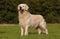 Stock Image : Beautiful dog, Labrador Retriever
