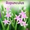Beautiful Flower, Illustration of Campanula rapunculus