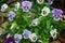 Stock Image : Beautiful flower pansy