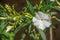 Stock Image : White Oleander