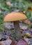 Stock Image : Beautiful orange-cap boletus