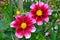 Stock Image : Beautiful pink dahlias