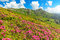Stock Image : Beautiful pink rhododendron flowers in the mountains,Ciucas,Carpathians,Romania