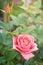 Stock Image : Beautiful pink rose