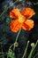 Stock Image : Beautiful poppies