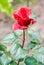 Stock Image : Beautiful red rose
