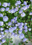 Stock Image : Beautiful small blue flowers
