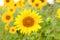 Stock Image : Beautiful sunflower with bright yellow