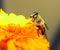 Stock Image : Bee on flower