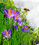Stock Image : Bee flying near first spring flowers