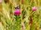 Stock Image : Bee Pollinates Pink Wild Flower