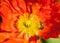 Stock Image : Bee Explores Poppy Stamens