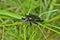 Stock Image : Beetle carabus (Calosoma) 6