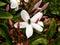 Stock Image : Beetle in jasmine 1