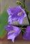 Stock Image : Bellflower blossoms