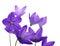 Stock Image : Bellflower