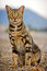 Stock Image : Bengal cat