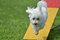Stock Image : Bichon Frise at a Dog Agility Trial