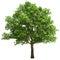 Stock Image : Big Oak Tree Isolated
