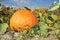 Stock Image : Big pumpkin in garden
