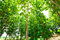 Stock Image : Big teak tree forest