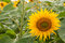 Stock Image : Big yellow sunflower