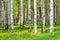Stock Image : Birch trees
