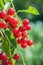 Stock Image : Bird Cherry tree (Prunus padus)
