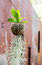 Stock Image : Bird nest fern