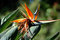 Stock Image : Bird of Paradise flower