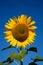 Stock Image :  Blühen Sie Sonnenblume auf dem Hintergrund des blauen Himmels
