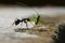 Stock Image : Black ant and green cricket