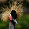 Stock Image : Black Crowned Crane closeup