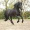 Stock Image : Black friesian stallion running on sand in autumn