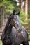 Stock Image : Black Kladruber horse portrait in pines forest