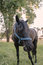 Stock Image : Black pony feeding in the grass